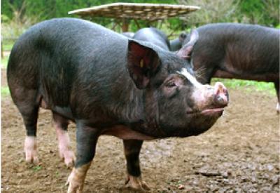 ボーっとした表情の黒い豚